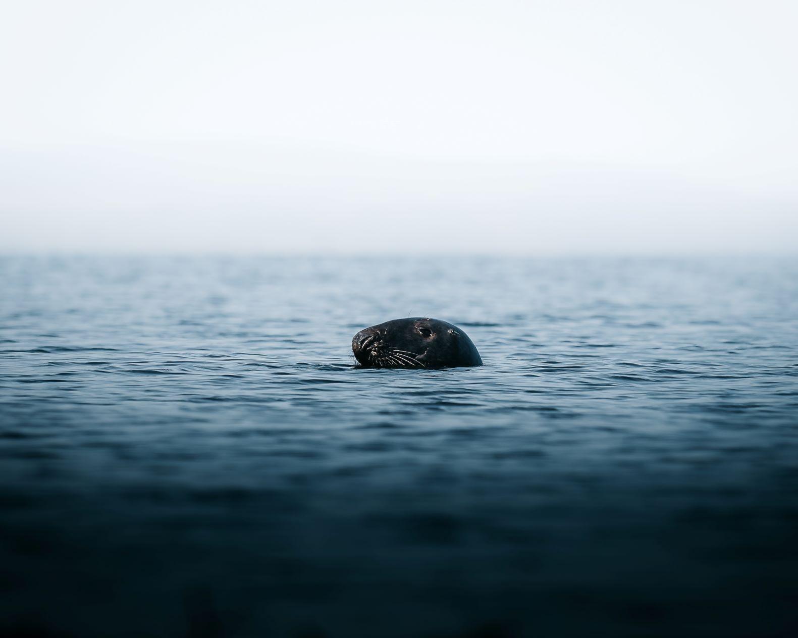 Ailsa Craig Seal